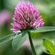 Read more about: Formononetin from red clover – is freshwater fish at risk?