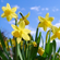 Read more about: Lycorine - is making daffodils inedible